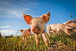 Scientists Use Gene Editing to Create Low-Fat Pigs